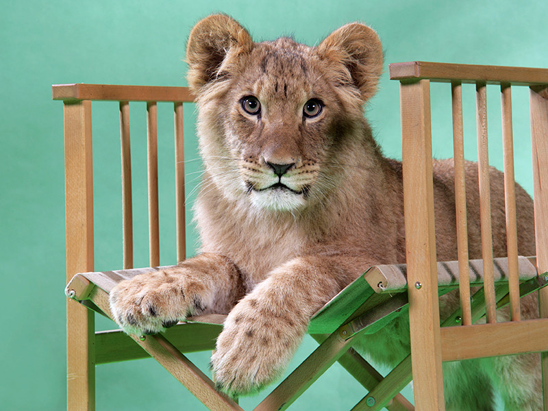 В Пулково пять часов ловили львенка из Грозного