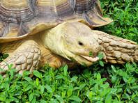 Две шпороносные черепахи попытались сбежать из иркутского зоопарка, но были пойманы котом