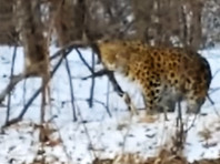 В Приморье на видеорегистратор случайно попала самая редкая кошка Земли