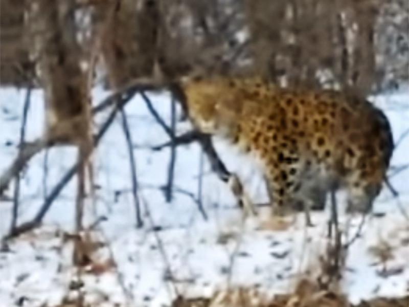 """Одна из старейших представительниц вида дальневосточных леопардов Leo 69F, обитающая в приморском национальном парке """"Земля леопарда"""", вышла из леса, подошла вплотную к автомобильной дороге и попала на видеорегистратор проезжавшей мимо машины"""