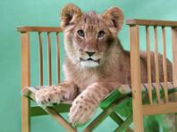 """В """"Пулково"""" пять часов ловили  львенка из Грозного"""