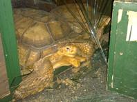 Иркутский Шрек разбил панцирем стекло и снова попытался вырваться на свободу из зоопарка (ФОТО)
