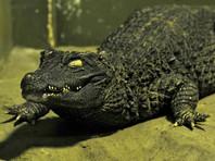 """В подвале  дома в Петергофе нашли двухметрового  крокодила-""""людоеда"""""""