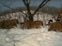 """Попались в фотоловушку: парк """"Земля леопарда"""" опубликовал ВИДЕО о повседневной жизни тигриной семьи"""