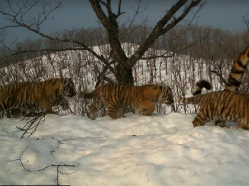 """Ученые национального парка """"Земля леопарда"""" получили серию умилительных и одновременно ценных кадров из жизни семьи амурских тигров. В течение месяца тигрица с двумя детенышами, живущие вблизи фотоловушек, демонстрировали на камеру свою привычную жизнь"""