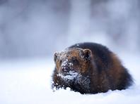 На Камчатке у логова росомахи нашли вмерзший в лед обглоданный труп мужчины