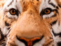 В Приморье охотника покусал, предположительно, амурский тигр