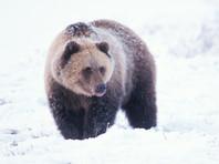 Якутские вахтовики, зверски задавившие грузовиками медведя, отделались небольшими штрафами