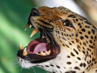 Прокуратура проверяет нападение леопарда на двухлетнего ребенка в зоопарке под Уссурийском