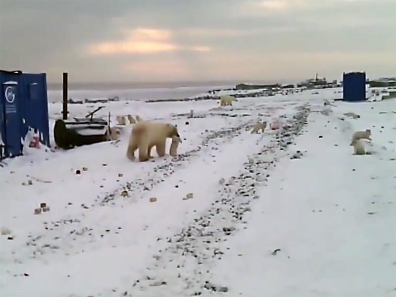 Голодные белые медведи заходят в рабочий поселок на Ямале и охотятся там на песцов, не обращая внимания на людей