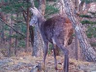 Редкий саблезубый олень впервые попал в фотоловушку нацпарка в Приморье