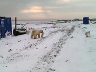 На Ямале белые медведи охотятся на песцов прямо в рабочем поселке (ВИДЕО)