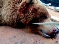 На Камчатке застрелили медведя, выломавшего забор и сожравшего 31 кролика