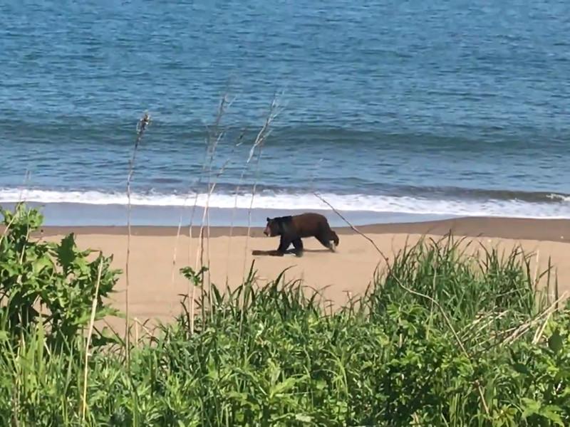 Медведь пробежал галопом по сахалинскому пляжу