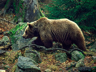 """В России озаботились защитой   медведей, но в правительстве  опасаются, что   ограничение на добычу приведет к """"социальной напряженности"""""""