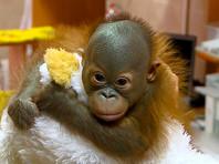 В Новосибирске детский нейрохирург спас новорожденного орангутана, реконструировав ему череп
