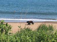 Медведь пробежал галопом по сахалинскому пляжу (ВИДЕО)
