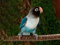 """В Омске попугай Чики с улицы Рабиновича залетел к соседям и """"построил всех, даже лабрадора"""""""