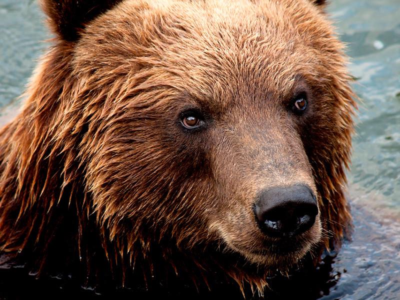 На Камчатке обитают около 20 тысяч медведей. Иногда животные проявляют агрессию и нападают на людей. По статистке региональных властей, в 2017 году в регионе отстрелили более 20 медведей, представлявших угрозу для человека, в 2016-м - 60 медведей