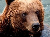 На Камчатке медведь растерзал 15-летнего подростка
