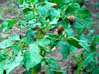 Ученый: избавить российский картофель от колорадского жука без генетических модификаций невозможно