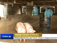 Попадание африканской чумы свиней из Китая в Россию грозит существованию амурского тигра и дальневосточного леопарда