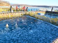 """Косаткам и белухам в """"китовой тюрьме"""" под Находкой угрожает смертельная опасность, бьет тревогу Greenpeace"""