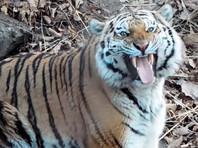 Хабаровские власти решили продать знаменитого тигра, дружившего с козлом. Дальневосточники категорически против