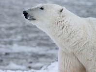 Белые медведи полностью покинули поселок Белушья Губа и его окрестности на Новой Земле