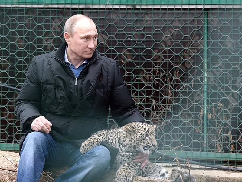"""""""Путинский"""" центр по разведению редкого леопарда близок к закрытию, а одного из его питомцев застрелили браконьеры"""