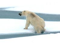Белых медведей, разогнавших людей по домам на Новой Земле, решено вывозить