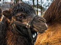 """Шаманов, которые сожгли верблюдов ради """"укрепления России"""", оштрафовали на три тысячи рублей, но не за это"""
