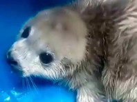 Во Владивостоке спасли трех детенышей тюленей - одного потерявшего маму и двух пострадавших при нападении собачьей стаи (ВИДЕО)