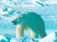 Российские пограничники будут защищаться от белых медведей в Арктике травматическим оружием