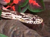 Сбежавшую от хозяйки в Домодедове змею Зою нашли в Обнинске (ФОТО)