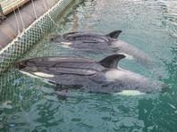 Владельцы косаток в бухте Средняя  в Приморье готовы выпустить животных, если будет решение правительства