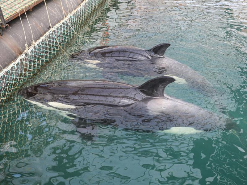 Владельцы касаток в бухте Средняя в Приморье готовы выпустить животных, если будет решение правительства