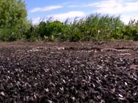 Нашествие мух на поселки Урала: миллионы насекомых заполонили все черной массой, СК возбудил уголовное дело (ВИДЕО, ФОТО)