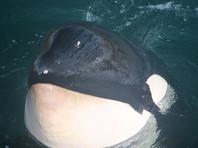 """Из """"китовой тюрьмы"""" освободили только восемь животных, не помогла даже """"Прямая линия"""" с Путиным"""