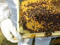 Массовое вымирание пчел по всему миру ученые начали фиксировать в 2006 году. В США каждую зиму стало вымирать до 30% пчелиных колоний, хотя раньше холодный сезон не переживали только 10%