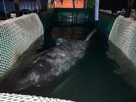 """Из """"китовой тюрьмы"""" освобождают вторую партию косаток. В Хабаровске началась погрузка"""