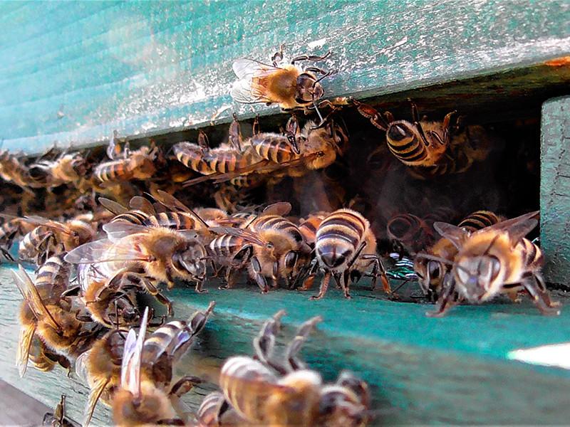 Минимум в 20 регионах России зафиксирована массовая гибель пчел