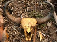 Россия ежегодно экспортирует более 120 тонн бивней мамонта на фоне мировых запретов на торговлю слоновой костью (ВИДЕО)