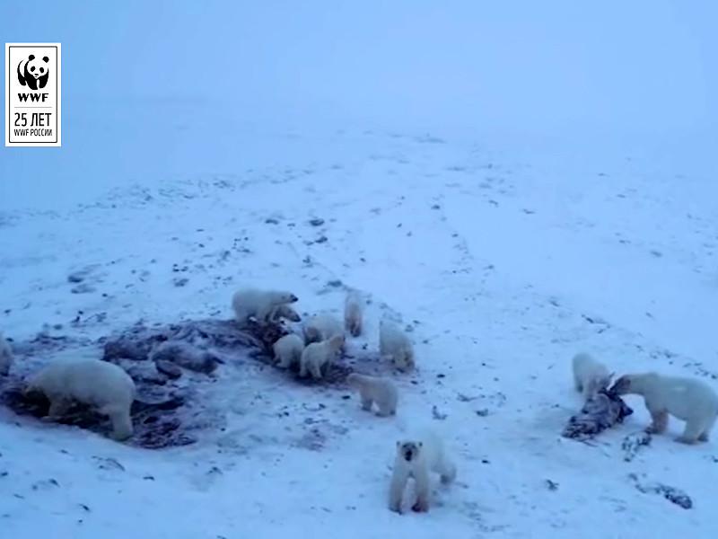 Осажденное белыми медведями село на Чукотке получит шумовые патроны и перцовый газ для их отпугивания