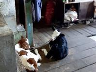 В Приморье трехлетняя девочка, взятая под опеку, жила в загоне с новорожденными телятами и козлятами (ФОТО)