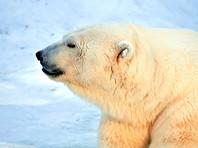 В России пересчитают белых медведей
