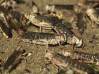 """""""Вторая волна"""" уже пришла: рои миллиардов саранчи обрушились не только на районы Африки, Ближнего Востока, Азии, но и на юг России"""