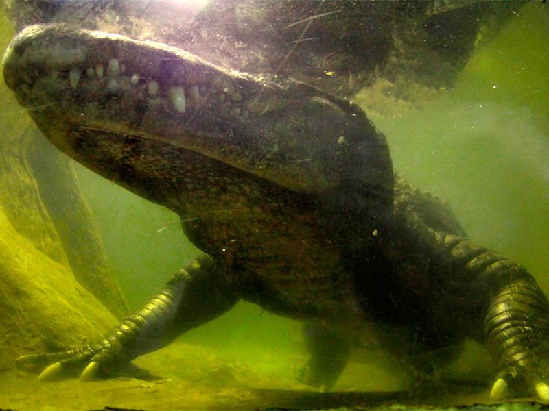 В дикой природе продолжительность жизни представителей этого вида составляет 30-50 лет