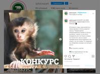 В Ленинградском зоопарке выбирают имя детенышу львинохвостых макак, родившемуся в конце апреля