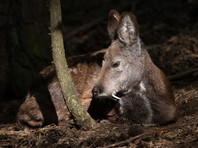 Деньги, выделенные на спасение редких оленей, судьбой которых интересовался Путин, пустили на развитие частных охотничьих угодий